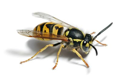 picture-of-wasp-up-close