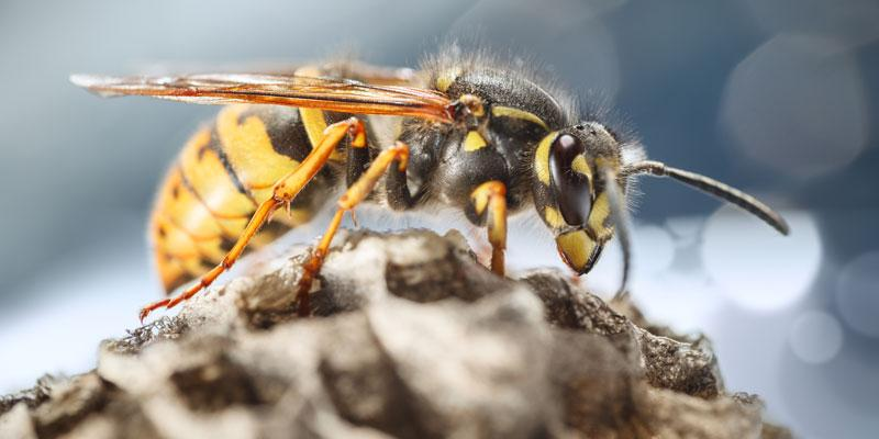 black and yellow wasp sitting on the outside of its nest.