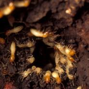Subterranean Termites.jpg